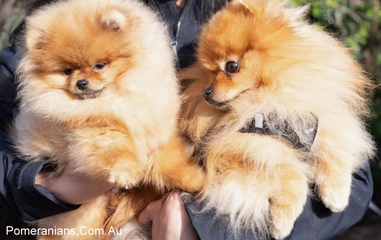 Orange Dochlaggie Pomeranians