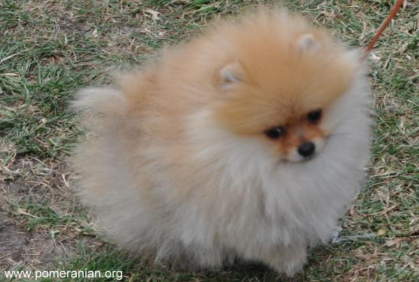 Dochlaggie Pomeranian breeder Melbourne