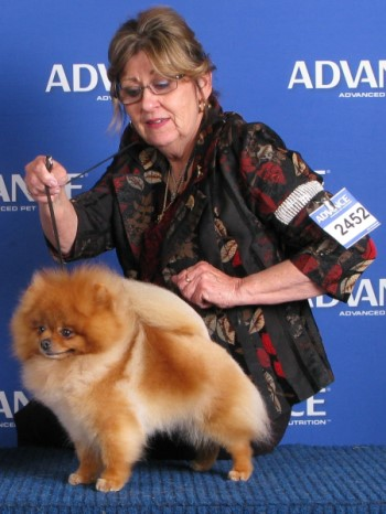 Multi BISA Supreme Champion Dochlaggie Dragon Double is Best of Breed Pomeranian at Royal Melbourne Show, 2013