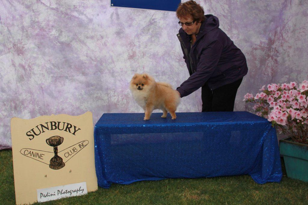 Australian Pomeranian Champion Dochlaggie Dancin Tina