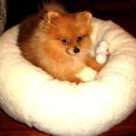 Dochlaggie Pomeranian Puppy Melbourne