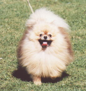 New Zealand Champion Pomeranian Pakovs Pinch of Snuff Imported U.K.