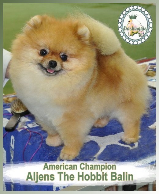 Pomeranian American Champion Aljens The Hobbit Balin ( imported USA)