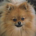 The Pomeranian Charlee