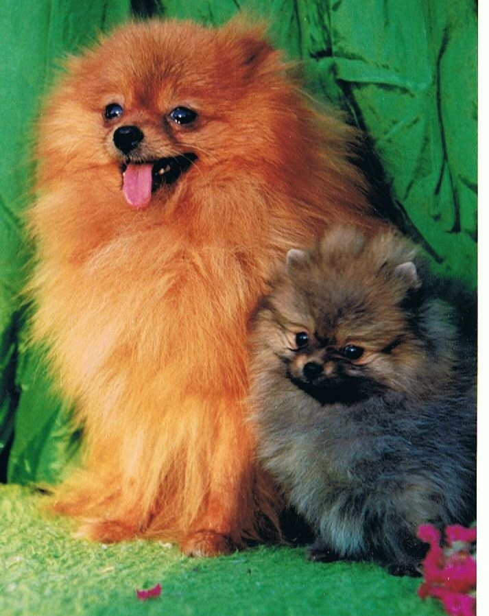 Pomeranian Cygal's Top of the Bill imported UK