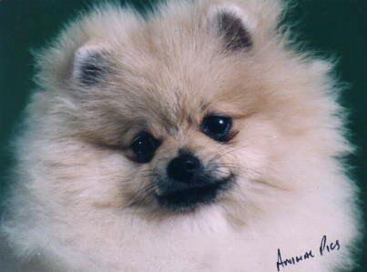 Pomeranian Irret Georgie Girl of Speranza ( Imported U.K.)