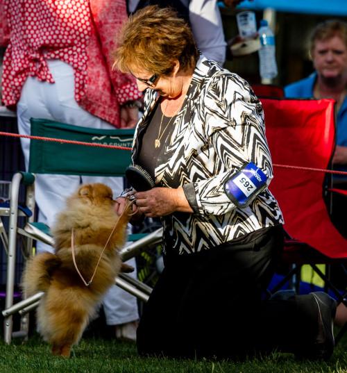 Australian Pomeranian Champion Dochlaggie Dancin Tina.