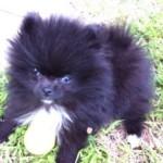 Black Dochlaggie Pomeranian Puppy Melbourne