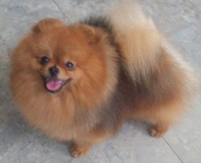 Pomeranian Canadian & Australian Champion Jenuwane Bring on the Heat (Imported Canada)