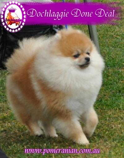Pomeranian Champion Dochlaggie Done Deal