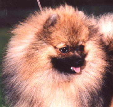 Champion Pomeranian Speranza Toy Boy imported U.K.