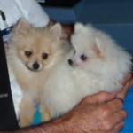 Dochlaggie Pomeranian Puppies Melbourne