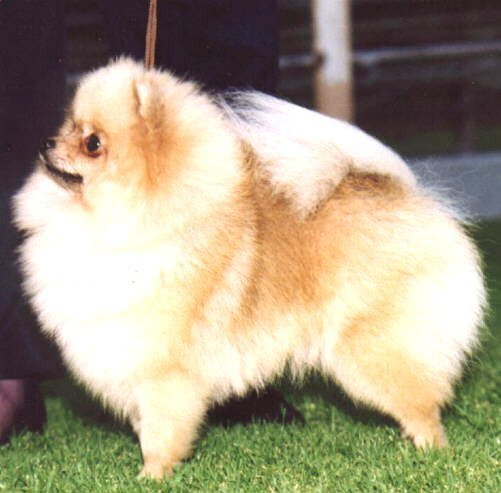 Champion Pomeranian Speranza Winter Breeze imported U.K.