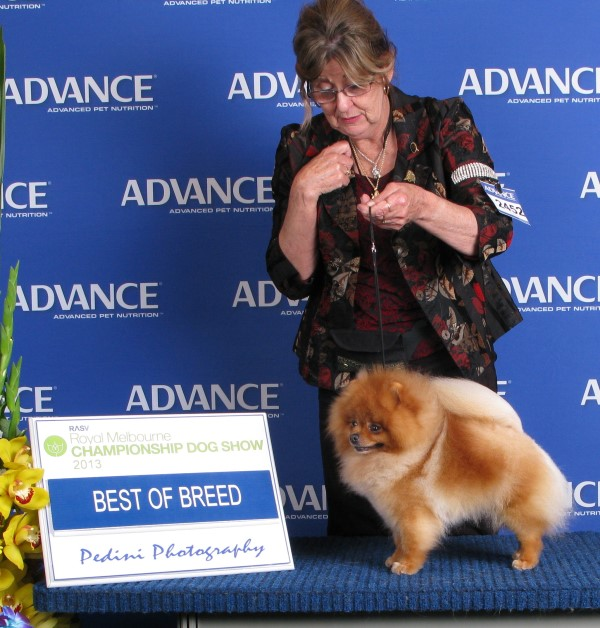Multi BISA Supreme Champion Dochlaggie Dragon Double Best of Breed Pomeranian at Melbourne Royal 2013