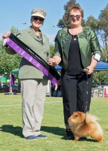 Champion Pomeranian Breeder Australia