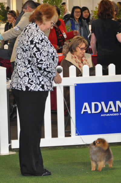 Dochlaggie Dont Rock the Boat winning Best Pomeranina baby Puppy Challenge at the Royal Melbourne Show 2015