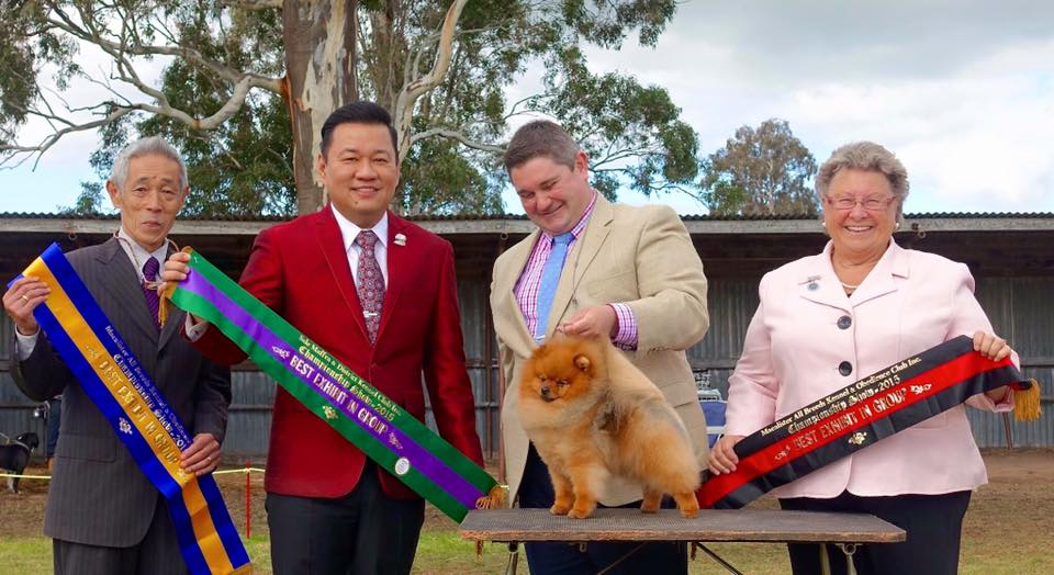 A Trifecta of Back-Back Group 1st all awarded by Specialist Judges, One Pomeranian, One Spitz & another Toy Specialist!! An absolute thrill to have our little guy acknowledged by such respected breeders from around the Globe. Rebel the Pom once again performed his little heart out! Australia's NUMBER ONE Pomeranian Rebel ( Can Ch & Ch Shallany's Rebel With A cause imported Canada) wins a TRIFECTA of back to back BEST EXHIBIT IN GROUPS at the Gippsland International Shows.
