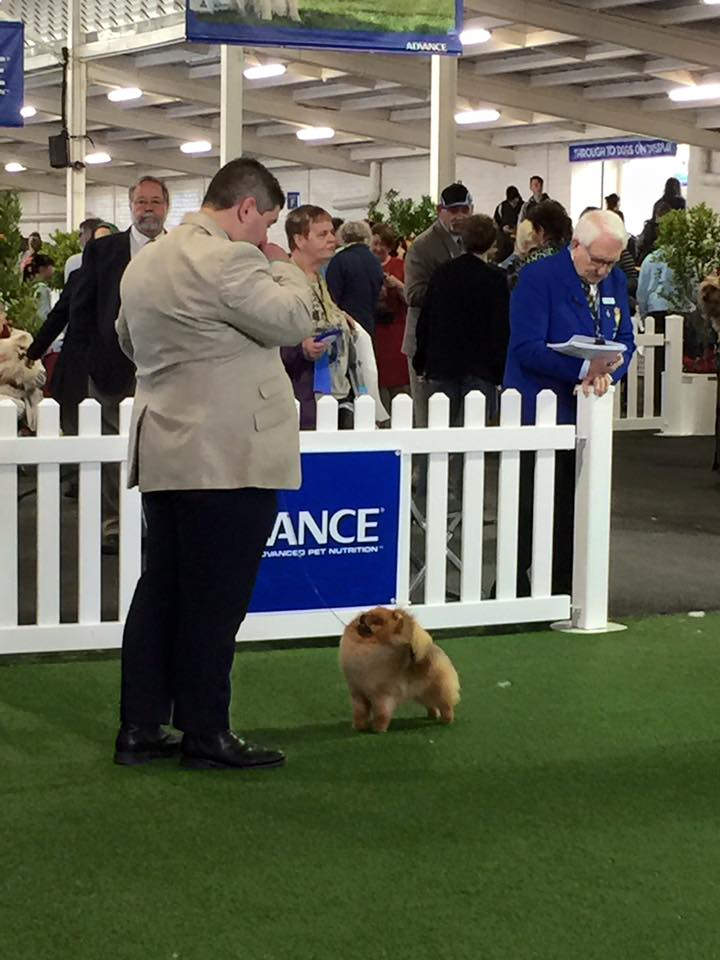 Rebel ( Can & Australian Champion Shallany's Rebel With A Cause imported Canada ) was the star with Dog Challenge, Best of Breed and then winning BEST EXHIBIT IN GROUP ROYAL MELBOURNE SHOW 2015.