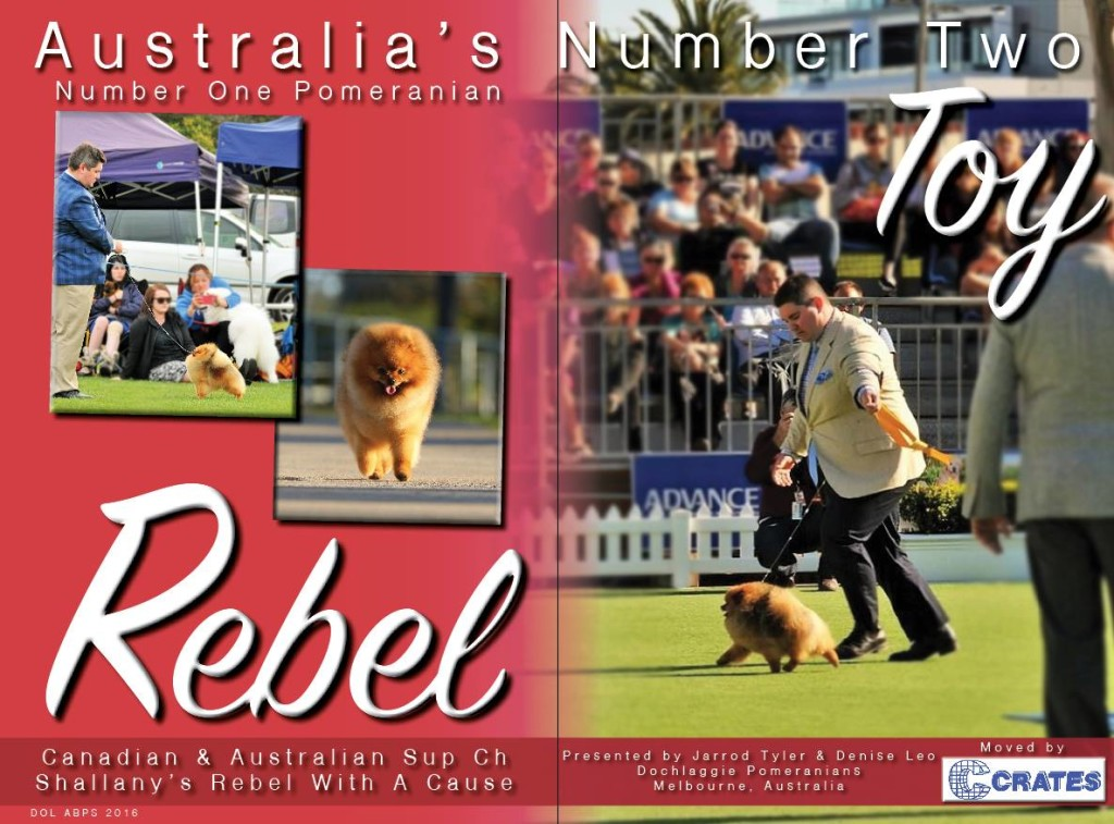 Australia's # 1 POMERANIAN- Rebel ( Can Ch & Supreme BIS Ch Shallany's Rebel With A Cause Imported Canada)