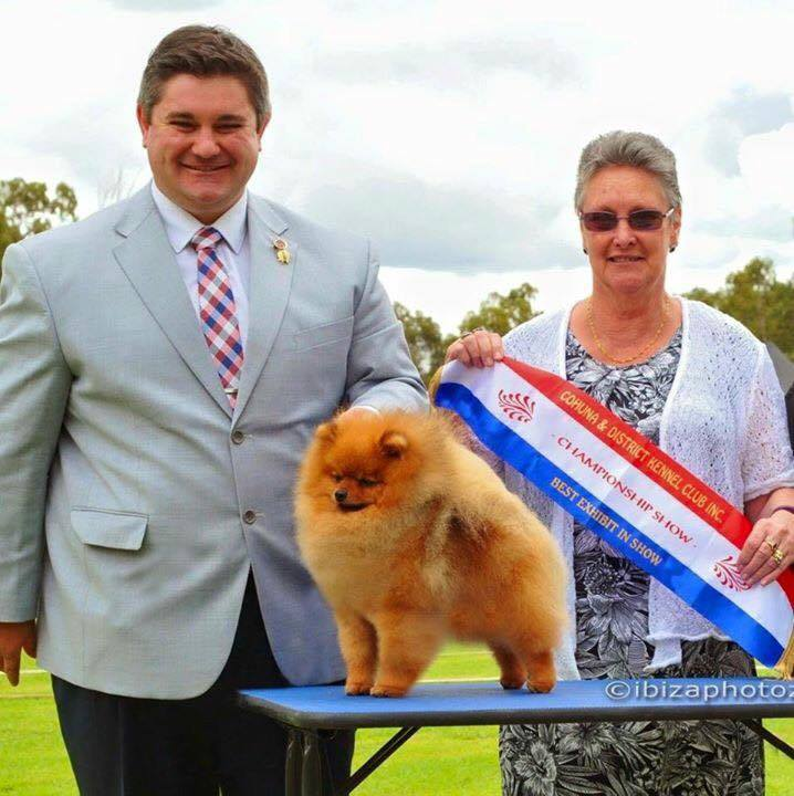 Canadian and Australian Supreme Champion Shallany Rebel With A Cause (Imported from Canada) aKa Rebel the Pomeranian wins all breeds BEST IN SHOW at Cohuna Show.