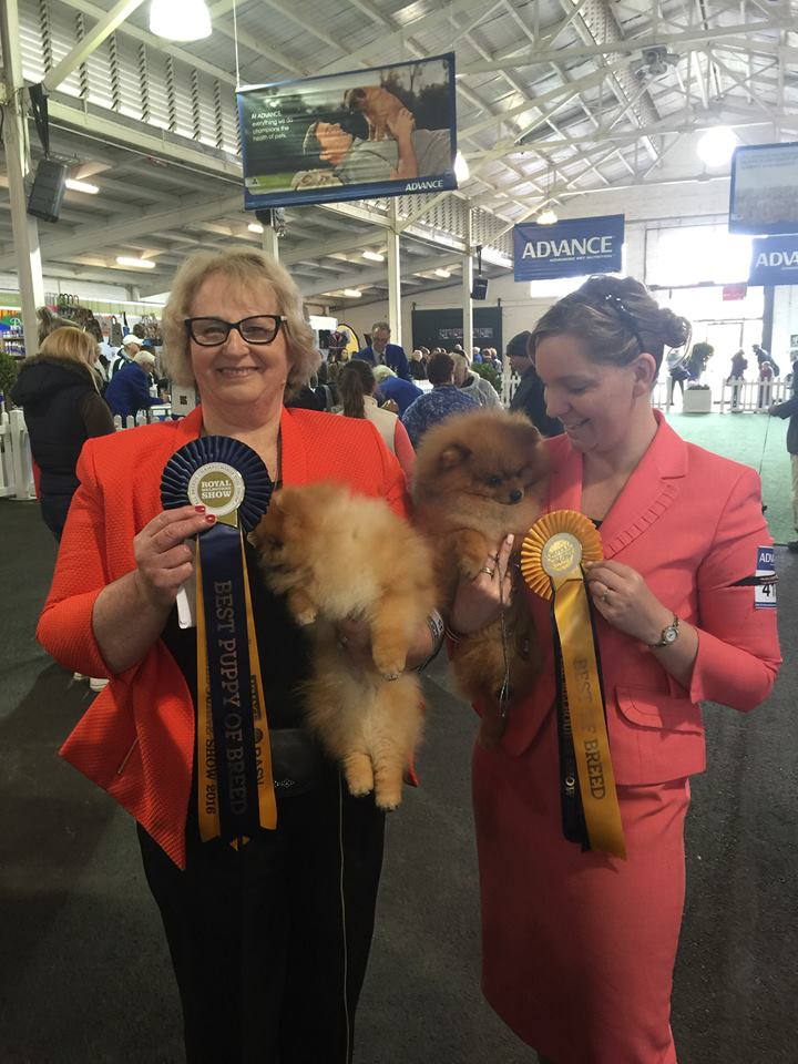 Dochlaggie Pomeranians at The Royal Melbourne Show 2016, best of Breed, best Pomeranian Puppy, best dog, dog challenge, bitch challenge, best Pomeranian female, bitch, dog, Pomeranian