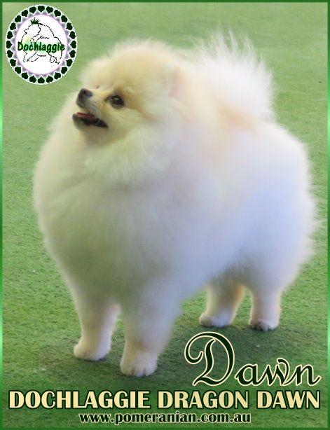Pomeranian Australian Champion DOCHLAGGIE DRAGON DAWN