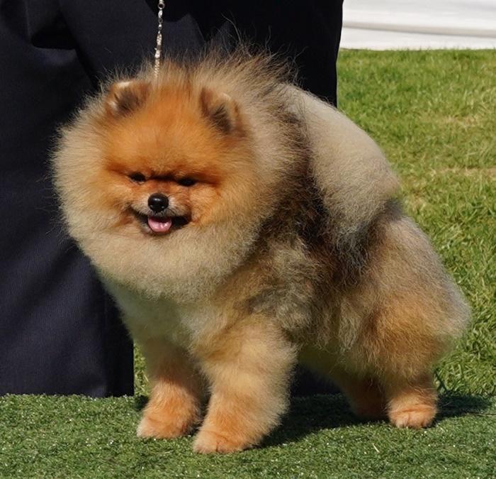 Pomeranian Champion Dochlaggie Dark N Dangerous