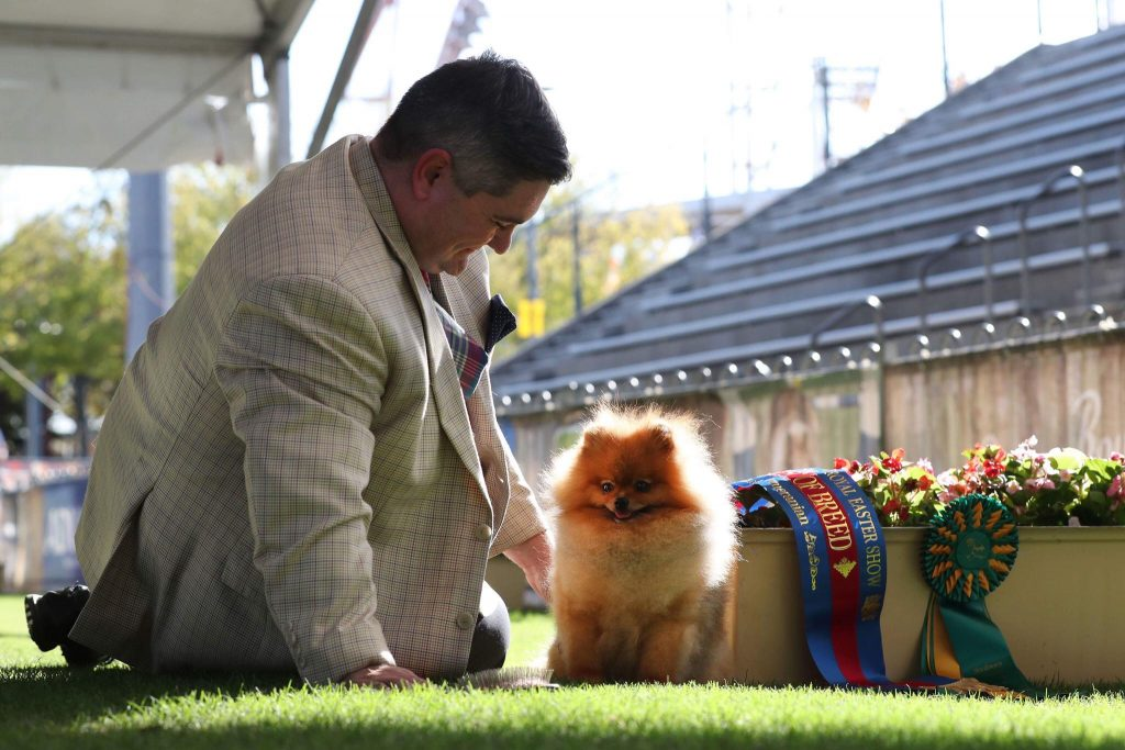 Pomeranians at Royal Sydney Easter Show 2018