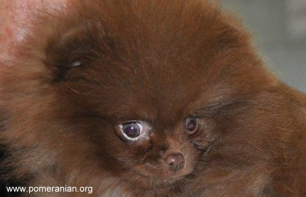 Dochlaggie chocolate Pomeranian Puppy