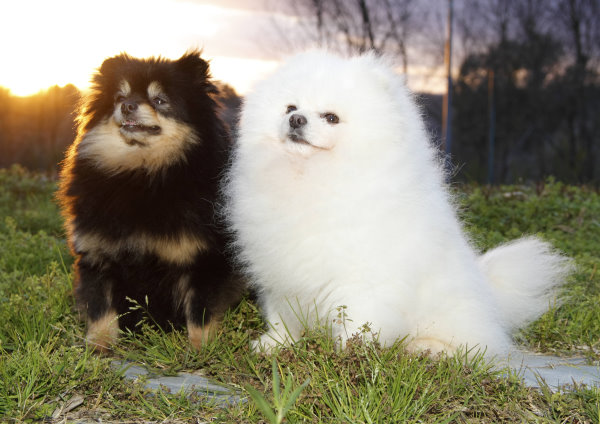 Black and Tan Pomeranian and white Pomeranian
