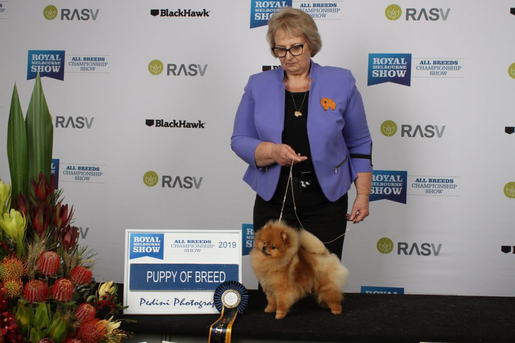 Australian Pomeranian Champion Dochlaggie Delightful Desire ru Best of Breed Melbourne Royal Show. Bitch challenge from the puppy class and best Pomeranian Puppy. A very early start and the Pomeranian judging was very, very late. This little poppet then took part in child handlers and the handler and the doggie were just exhausted by this time of day.