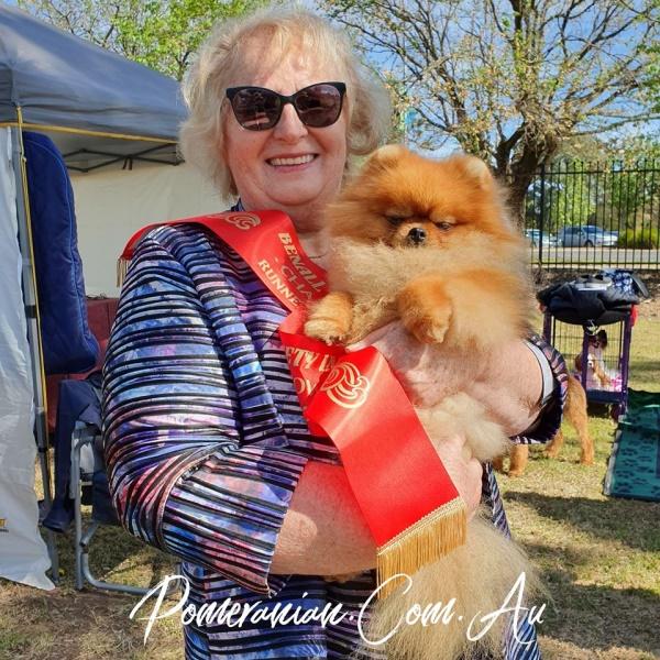 Picture of Australian Pomeranian Champion Dochlaggie Debonair