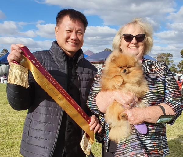 Australian Pomeranian Champion Dochlaggie Delightful Desire