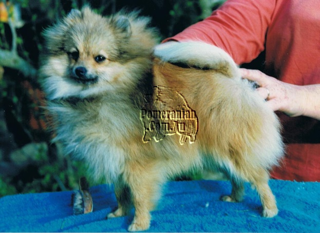 Pomeranian Speranza Dolly Dimple imported U.K.