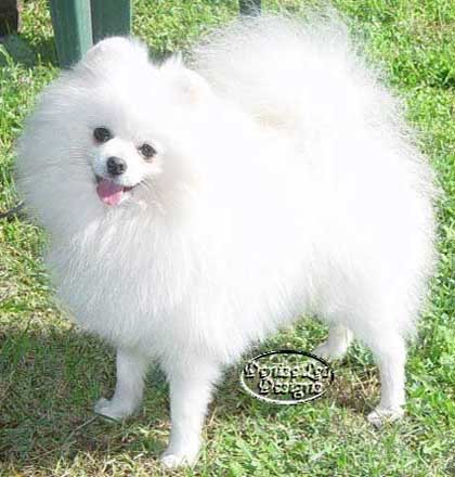 White Pomeranian Holehola Final Fizz imported Singapore