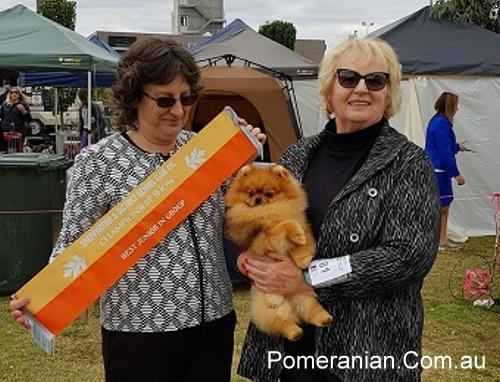 Pomeranian Dochlaggie Debonair winningBest Junior in Group at Shepparton Kennel Club Show 2019