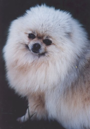 Pomeranian Kiriemuir Silver Shadow imported United Kingdom