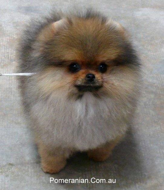 Dochlaggie Debonair as a Baby Puppy