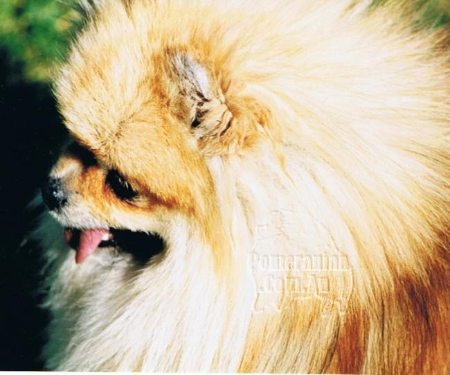 Pomeranian Cherimar Brijanna ( Imported N.Z.)