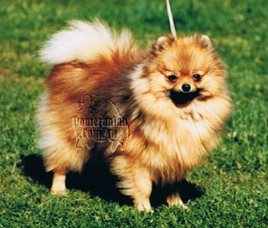 Pomeranian New Zealand Champion Cherimar Christmas Box