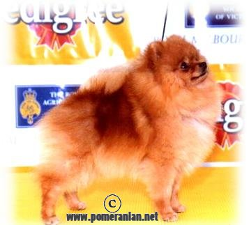 Pomeranian JanShars One Tough Cookie imported USA