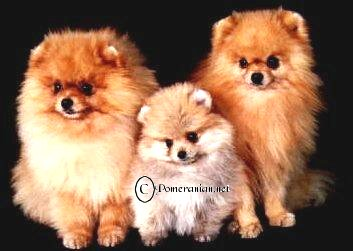 Pictured right hand side Pomeranian Paddockwood Regal Asset (Imported U.K.)