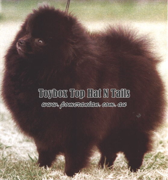 Black Pomeranian Toy Box Top Hat N tails ( Imported U.K.)