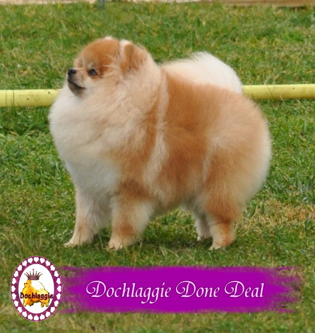 Pomeranian Champion Dochlaggie Done Deal.