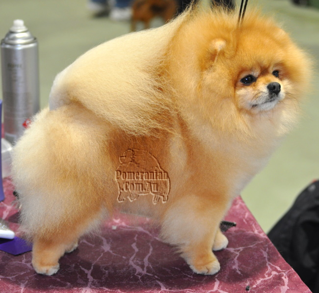 Multiple Best in Show winning Pomeranian Australian Supreme Champion Dochlaggie Dragon Heart