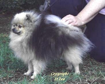 The Wolf Sable Pomeranian, Chermar Dinky Toy imported New Zealand