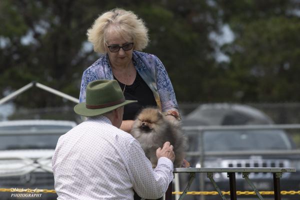 Pomeranian Puppy Dochlaggie Drum Roll Please