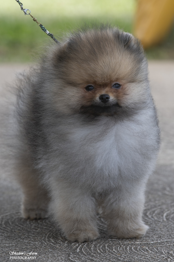 Pomeranian Puppy Dochlaggie Drum Roll Please