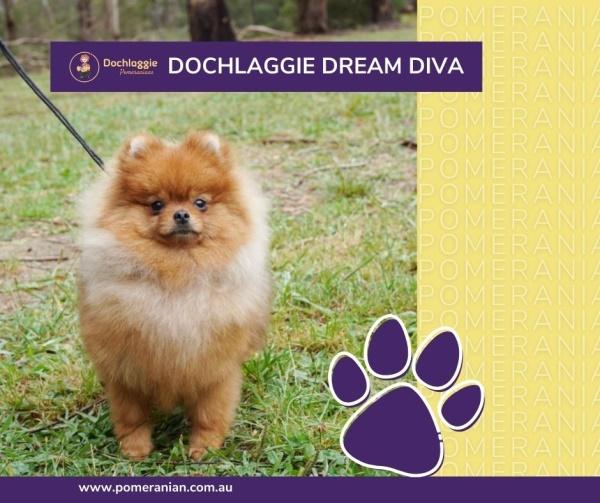Pomeranian Dochlaggie Dream Diva