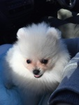 White Dochlaggie Pups